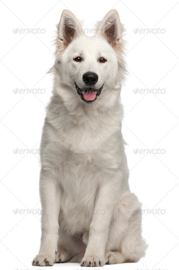 Berger Blanc Suisse puppy, 6 months old, sitting in front of white background - Stock Photo - Images