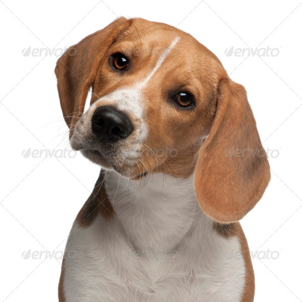 Beagle puppy, 6 months old, in front of white background - Stock Photo - Images