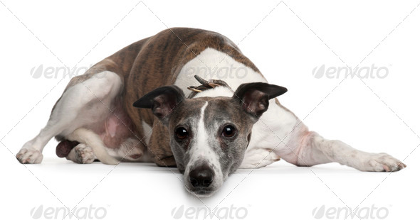 Whippet dog, 10 years old, lying in front of white background - Stock Photo - Images