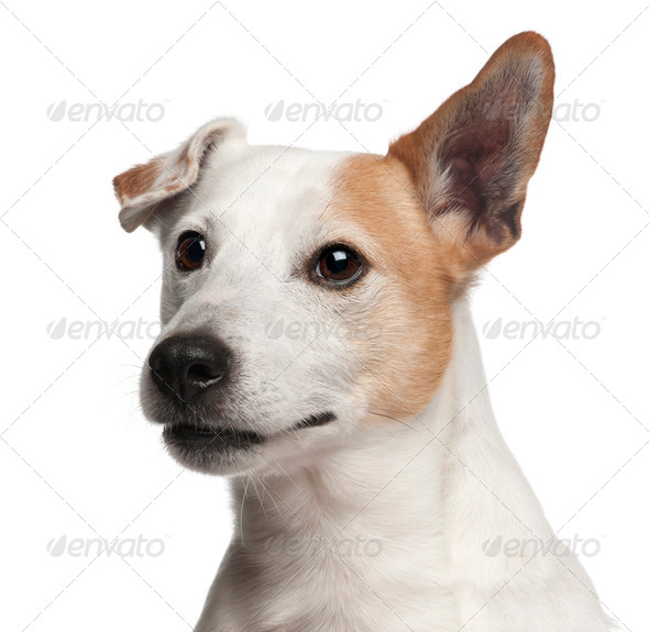 Jack Russell Terrier puppy, 8 years old, in front of white background - Stock Photo - Images
