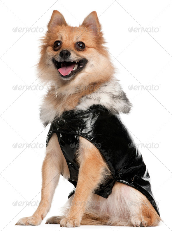 German Spitz dressed in leather, 22 months old, sitting in front of white background - Stock Photo - Images