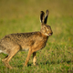 European hare - PhotoDune Item for Sale