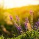 Woodland Sage close up photo - PhotoDune Item for Sale