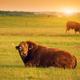 Limusin cattle - PhotoDune Item for Sale