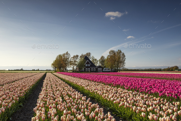 beautiful tulip field by dutch farmhouse - Stock Photo - Images