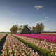 beautiful tulip field by dutch farmhouse - PhotoDune Item for Sale