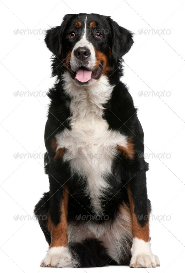 Bernese Mountain Dog, 16 months old, sitting in front of white background - Stock Photo - Images