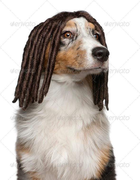 Australian Shepherd puppy wearing a dreadlock wig, 5 months old, in front of white background - Stock Photo - Images