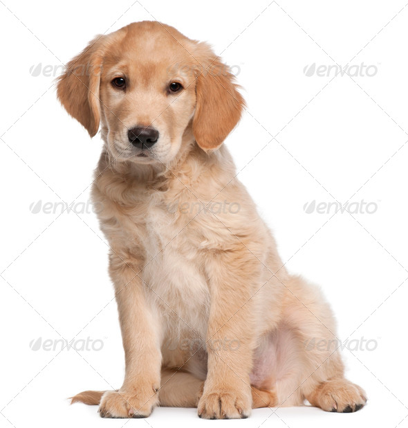 Golden Retriever puppy, 2 months old, sitting in front of white background - Stock Photo - Images