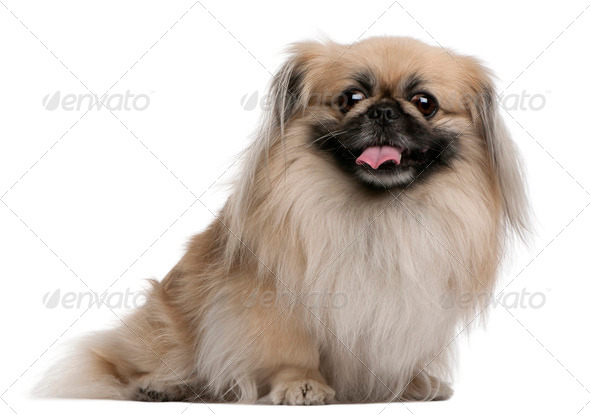 Pekingese, 7 years old, sitting in front of white background - Stock Photo - Images
