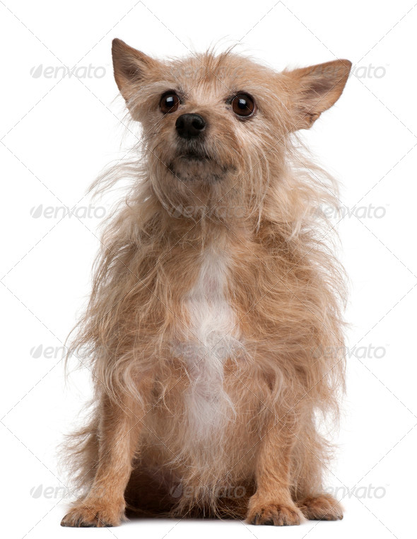 Chihuahua, 11 years old, sitting in front of white background - Stock Photo - Images