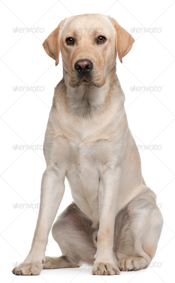 Labrador Retriever, 14 months old, sitting in front of white background - Stock Photo - Images