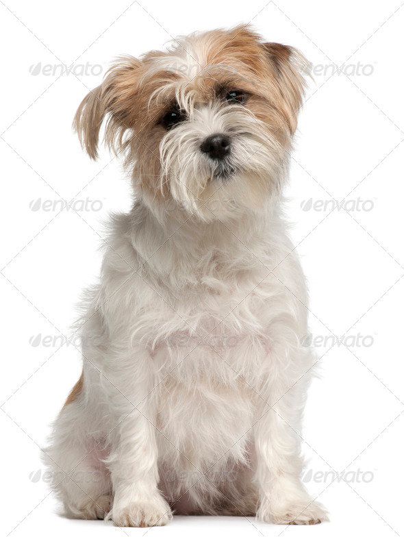Mixed-breed dog, 2 years old, sitting in front of white background - Stock Photo - Images