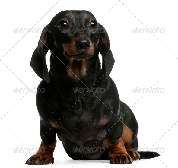 Dachshund, 1 year old, sitting in front of white background - Stock Photo - Images