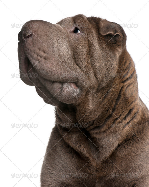 Shar Pei, 1 year old, in front of white background - Stock Photo - Images