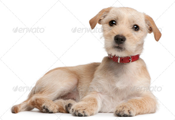 Mixed-breed puppy, 3 months old, lying in front of white background - Stock Photo - Images