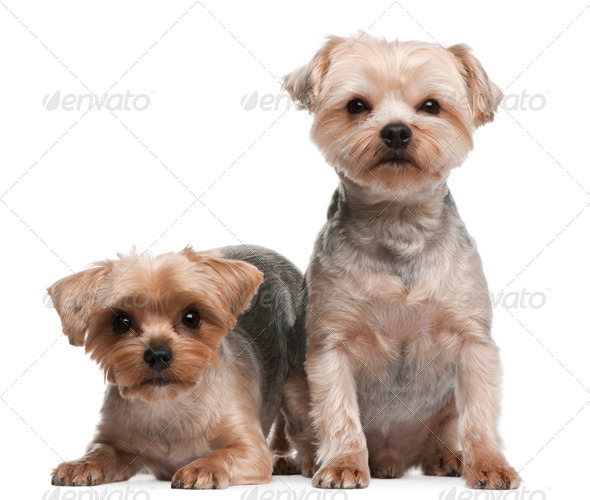 Yorkshire Terriers, 18 months old, sitting in front of white background - Stock Photo - Images
