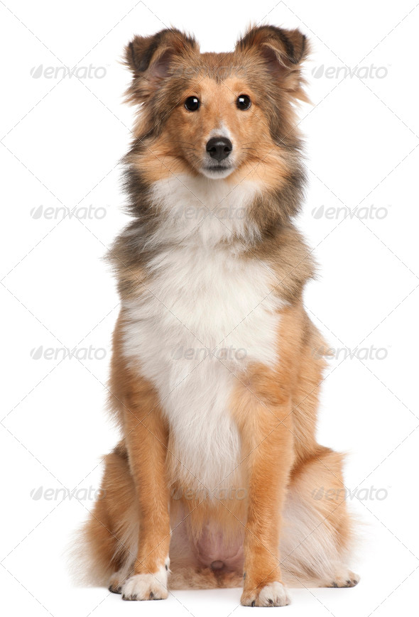 Shetland Sheepdog, 9 months old, sitting in front of white background - Stock Photo - Images
