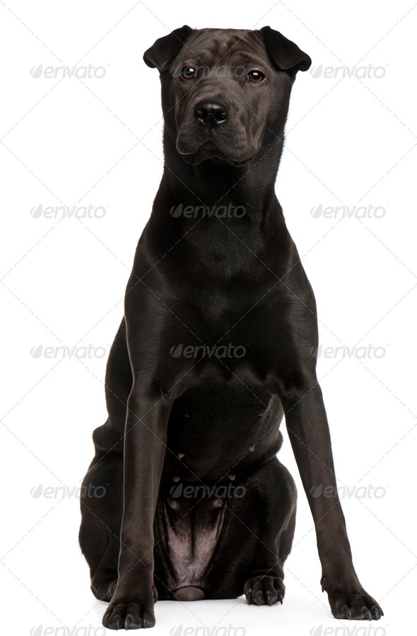 Mixed-breed Shar Pei, 8 months old, sitting in front of white background - Stock Photo - Images