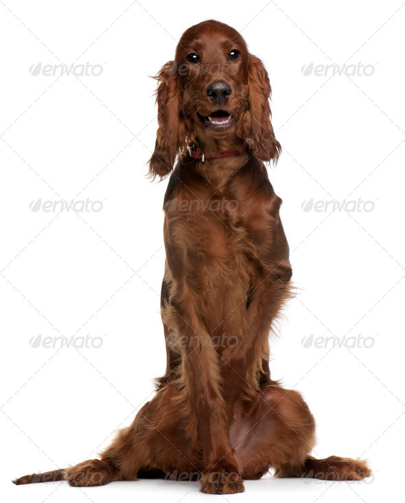 Irish Setter puppy, 5 months old, sitting in front of white background - Stock Photo - Images