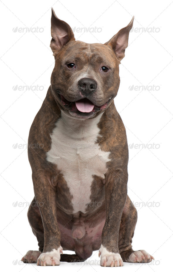 American Staffordshire Terrier, 25 months old, sitting in front of white background - Stock Photo - Images