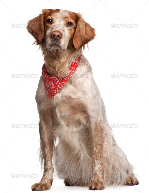 Mixed-breed dog wearing red handkerchief, sitting in front of white background - Stock Photo - Images