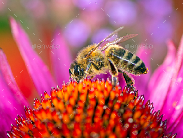 Bee collecting nectar in an echinacea flower blossom - Stock Photo - Images