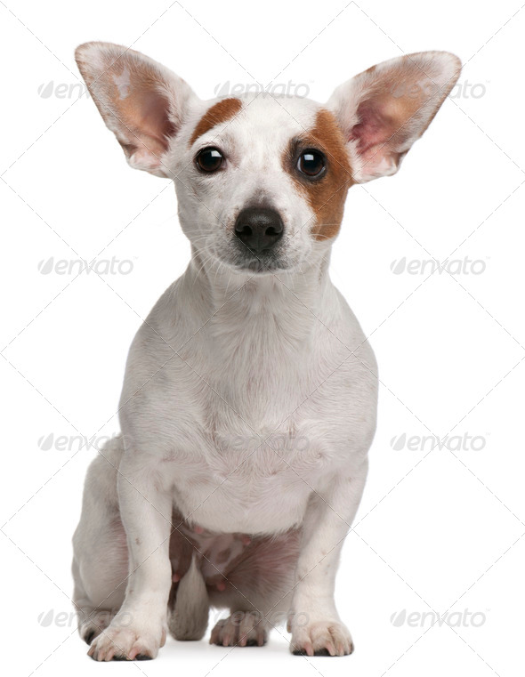 Mixed-breed dog, 1 year old, sitting in front of white background - Stock Photo - Images