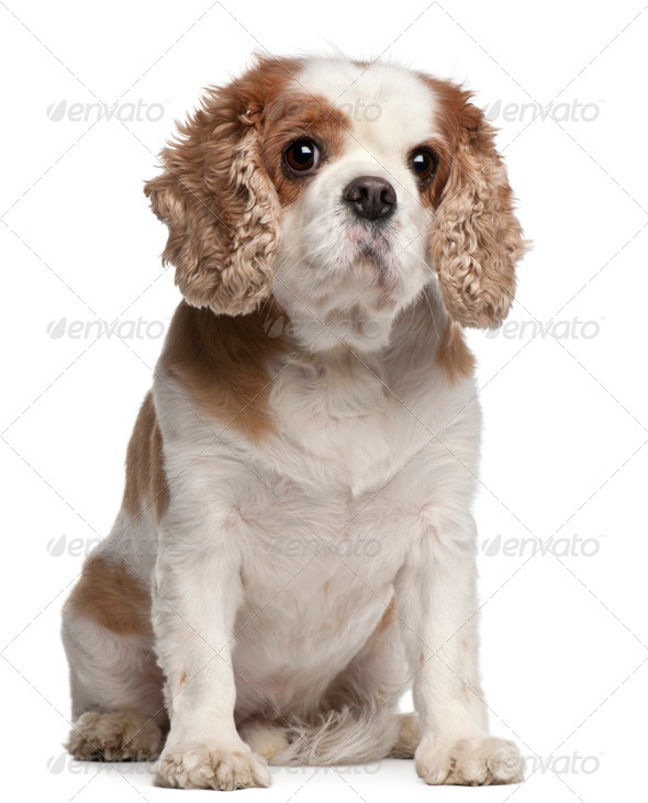 Cross-breed with a Cavalier King Charles Spaniel, 8 years old, sitting in front of white background - Stock Photo - Images