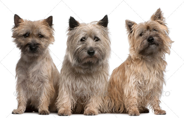 Cairn Terriers, 12 and 2 years old, sitting in front of white background - Stock Photo - Images