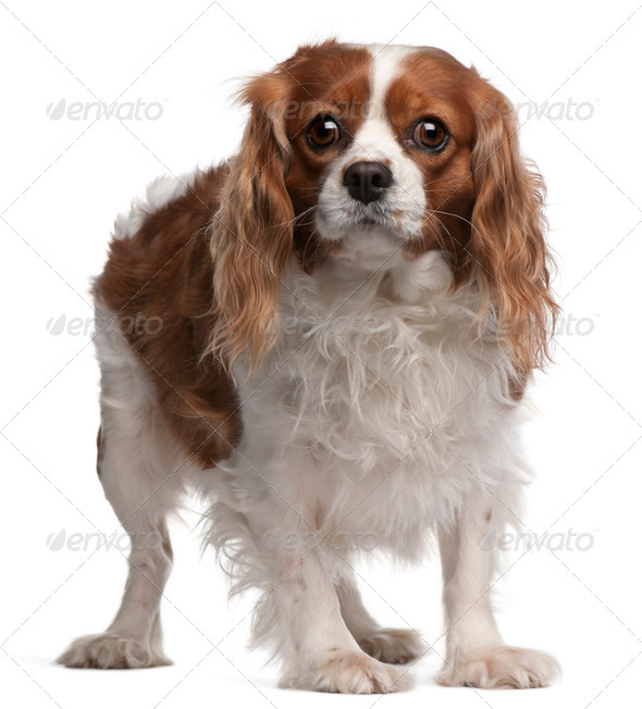 Cavalier King Charles Spaniel, 3 years old, standing in front of white background - Stock Photo - Images