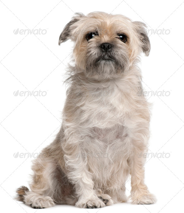 Griffon Bruxellois, 4 years old, sitting in front of white background - Stock Photo - Images