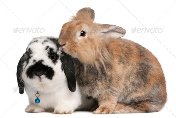 Lapponian Herder rabbits, 3 years old, in front of white background - Stock Photo - Images