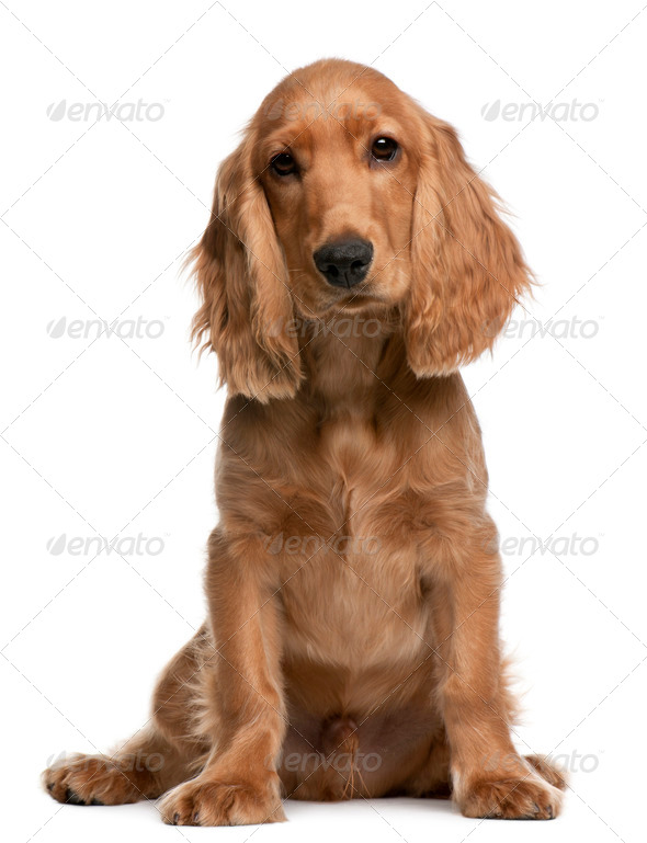 English Cocker Spaniel puppy, 5 months old, sitting in front of white background - Stock Photo - Images