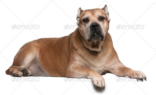 Cane Corso, 9 years old, lying in front of white background - Stock Photo - Images