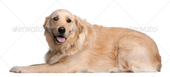 Golden Retriever, 3 years old, lying in front of white background - Stock Photo - Images