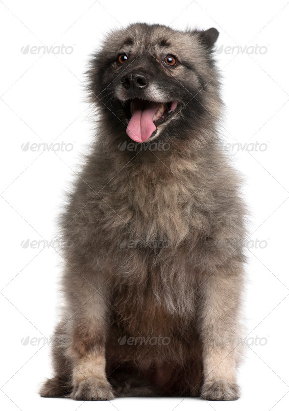 German Spitz, 11 years old, sitting in front of white background - Stock Photo - Images