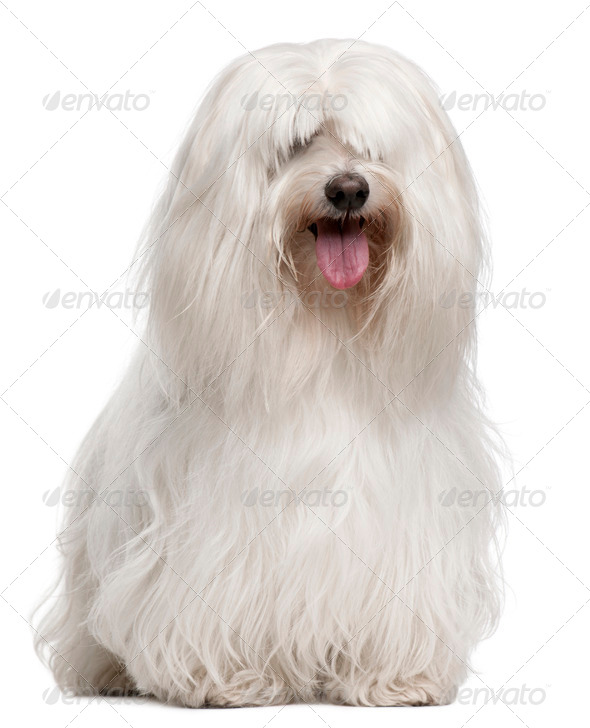 Maltese, 8 years old, sitting in front of white background - Stock Photo - Images