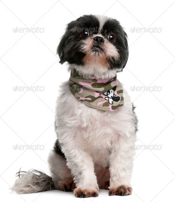 Shih Tzu wearing handkerchief, 4 years old, sitting in front of white background - Stock Photo - Images