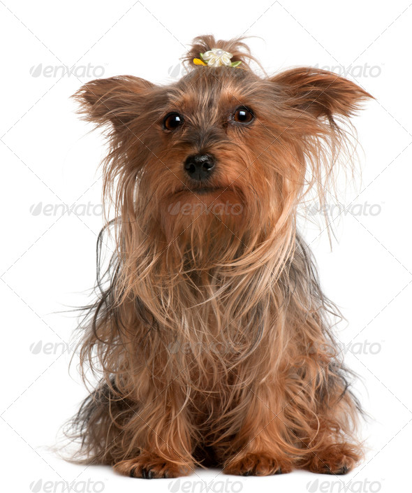 Yorkshire Terrier, 14 years old, sitting in front of white background - Stock Photo - Images
