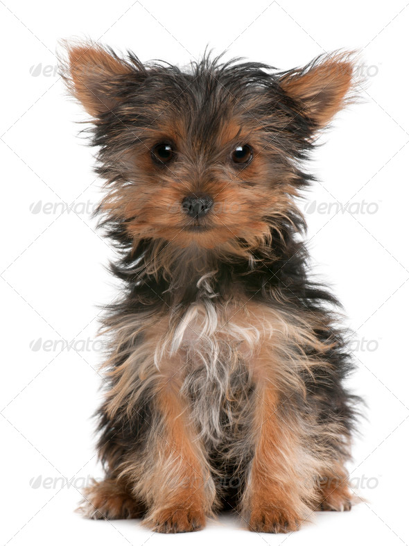 Yorkshire Terrier puppy, 3 months old, sitting in front of white background - Stock Photo - Images
