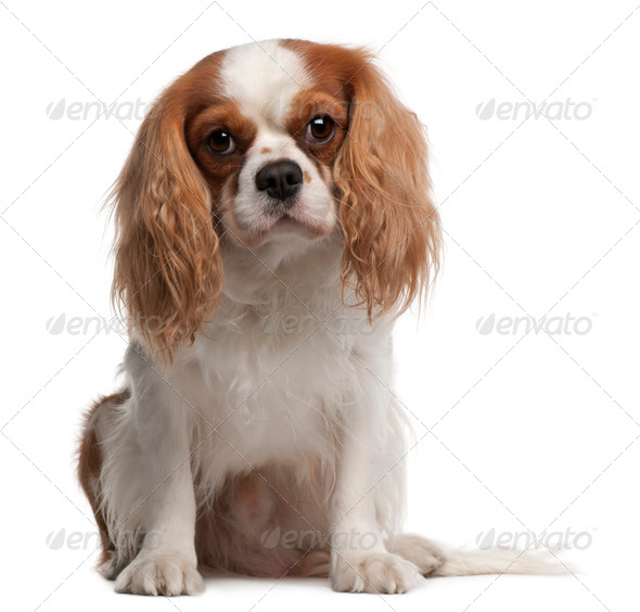 Cavalier King Charles Spaniel, 3 years old, sitting in front of white background - Stock Photo - Images