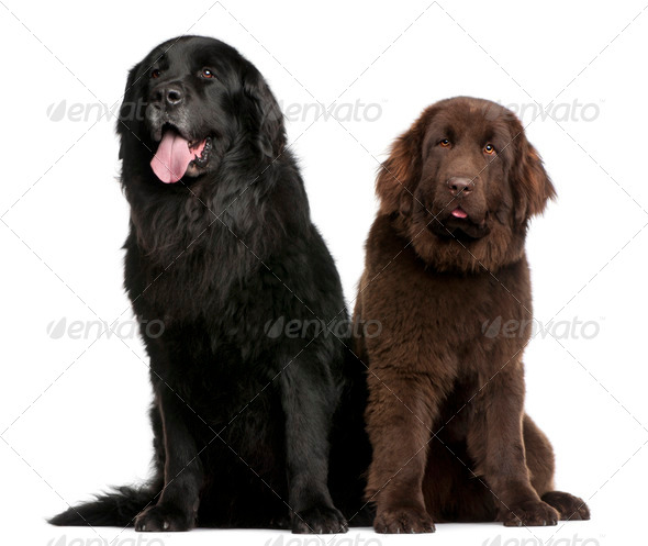 Newfoundland dogs, 7  and 10 years old, sitting in front of white background - Stock Photo - Images