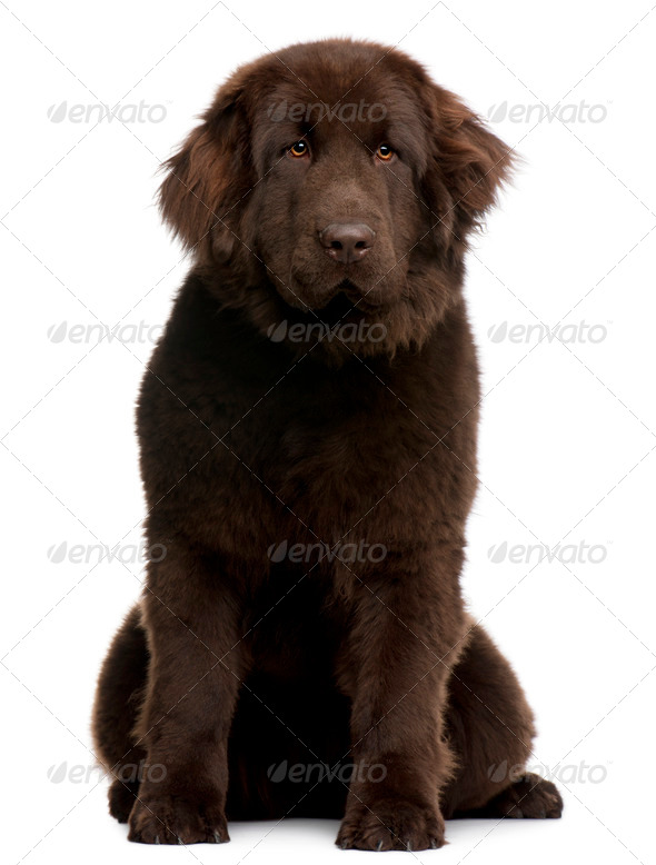 Brown Newfoundland puppy, 10 months old, sitting in front of white background - Stock Photo - Images