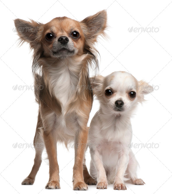Chihuahuas, 16 and 12 months old, in front of white background - Stock Photo - Images