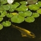 Japanese golden koi carp fish in an ornamental pond with white waterlily flower and green leaves. - PhotoDune Item for Sale