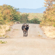 Cape buffalo walking on a gravel road towartds the camera - PhotoDune Item for Sale