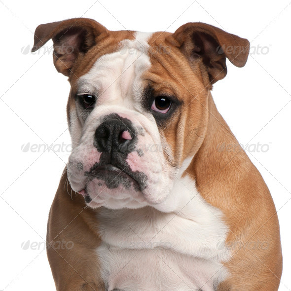 English bulldog, 6 months old, in front of white background - Stock Photo - Images