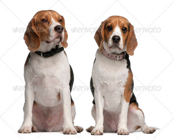 Beagles, 1 and 3 years old, sitting in front of white background - Stock Photo - Images