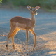 Young impala ewe in first rays of the rising sun - PhotoDune Item for Sale